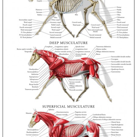 Equine Musculoskeletal Anatomy Poster