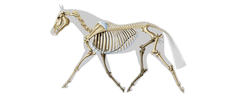 Equine skeletal anatomy banner unlabeled