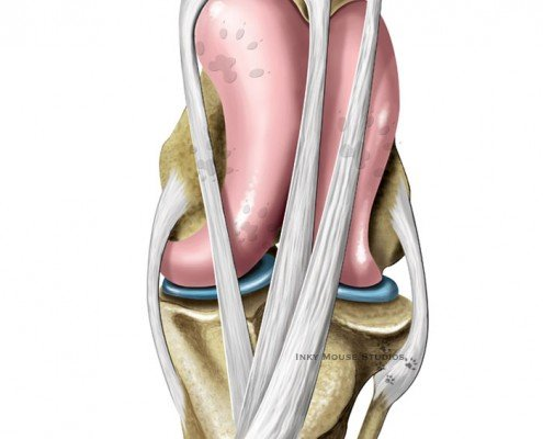 Equine Stifle Joint Anatomy Locked Position