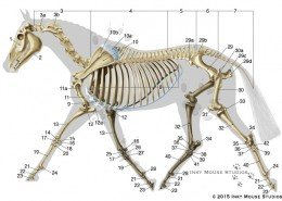 Lateral view of equine skeletal anatomy
