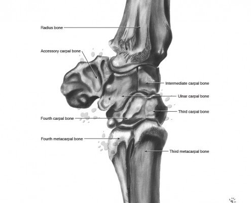 Equine carpus lateral view in greyscale