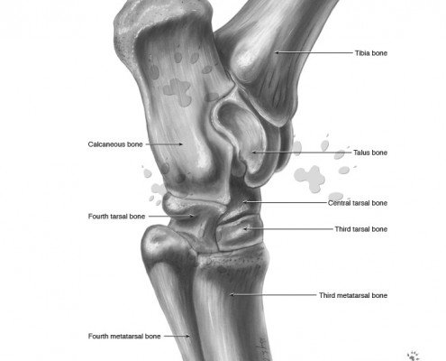 equine hock lateral view greyscale