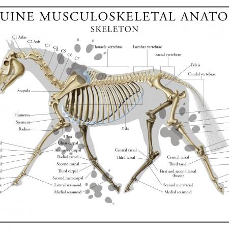 Equine skeletal anatomy poster