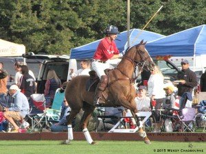 Reined in forward energy of a polo pony