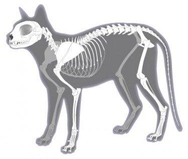 Feline skeletal system Illustration